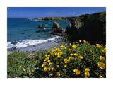 California Poppies on coastal cliff, Jughandle State Reserve, California Poster by Tim Fitzharris