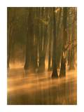 Bald Cypress swamp, Calcasieu River backwater, Lake Charles, Louisiana Prints by Tim Fitzharris