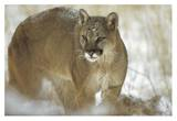 Mountain Lion portrait in winter, Montana Poster by Tim Fitzharris