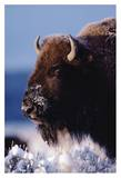 American Bison portrait in snow, North America Art by Tim Fitzharris