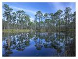 Pine forest mirrored in reflection pond, Ochlocknee River State Park, Florida Art by Tim Fitzharris