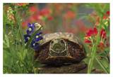 Western Box Turtle among Lupine and Indian Paintbrush, North America Poster by Tim Fitzharris