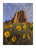 Temple of the Sun with Sunflowers, Capitol Reef National Park, Utah Posters by Tim Fitzharris