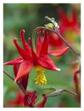 Wild Columbine with drops of dew, North America Prints by Tim Fitzharris