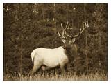 Elk or Wapiti male portrait, North America - Sepia Prints by Tim Fitzharris