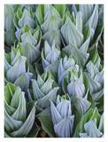 False Hellebore with frost, Gothic, Colorado Prints by Tim Fitzharris