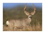 Mule Deer male in dry grass, North America Posters by Tim Fitzharris