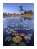 Waterlilies in pond, Jonathan Dickinson State Park near Hobe Sound, Florida Prints by Tim Fitzharris
