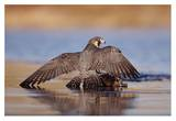 Peregrine Falcon standing over prey, North America Print by Tim Fitzharris