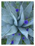 Bluebell and Agave , North America Print by Tim Fitzharris