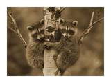 Raccoon two babies climbing tree, North America - Sepia Prints by Tim Fitzharris