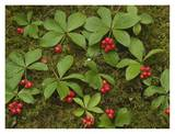 Bunchberry growing amid Sphagnum Moss, North America Prints by Tim Fitzharris