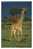 Giraffe portrait, Kenya Prints by Tim Fitzharris