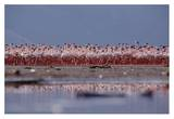 Lesser Flamingo flock parading in a mass courtship dance, Lake Bogoria, Kenya Print by Tim Fitzharris