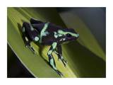 Green and Black Poison Dart Frog portrait, Costa Rica Poster by Tim Fitzharris