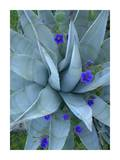 Bluebell and Agave , North America Prints by Tim Fitzharris