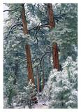 Ponderosa Pine forest after fresh snowfall, Rocky Mountain NP, Colorado Prints by Tim Fitzharris