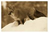 Red Fox standing at the top of a snow bank, Montana - Sepia Affiches par Tim Fitzharris