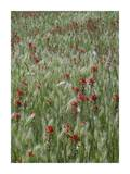 Indian Paintbrush and Foxtail Barley field, Texas Prints by Tim Fitzharris