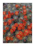 Claret Cup Cactus detail of flowers in bloom, North America Prints by Tim Fitzharris