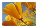 California Poppy flowers, Antelope Valley, California Poster di Tim Fitzharris