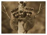 Raccoon two babies climbing tree, North America - Sepia Posters by Tim Fitzharris