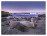 Northern Elephant Seal juveniles laying on the beach, Point Piedras Blancas, Big Sur, California Poster di Tim Fitzharris