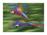 Scarlet Macaw pair flying, Costa Rica Posters by Tim Fitzharris