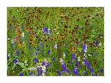 Delphinium and Mexican Hat flowers in meadow, North America Prints by Tim Fitzharris