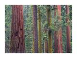 Coast Redwood trees, Mariposa Grove, Yosemite National Park, California Prints by Tim Fitzharris