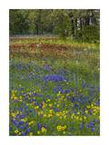 Sand Bluebonnet , Drummond's Phlox and Tickseed, Texas Prints by Tim Fitzharris