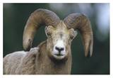 Bighorn Sheep male portrait, Banff National Park, Alberta, Canada Print by Tim Fitzharris