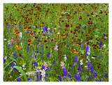 Delphinium and Mexican Hat flowers in meadow, North America Art by Tim Fitzharris