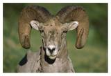 Bighorn Sheep close-up, North America Prints by Tim Fitzharris