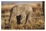 African Elephant baby, Kenya Print by Tim Fitzharris