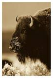 American Bison portrait in snow, North America - Sepia Prints by Tim Fitzharris