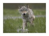 Gray Wolf walking through water, North America Posters by Tim Fitzharris
