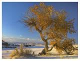 Fremont Cottonwood single tree in desert, White Sands National Monument, New Mexico Plakaty autor Tim Fitzharris