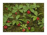 Bunchberry growing amid Sphagnum Moss, North America Print by Tim Fitzharris
