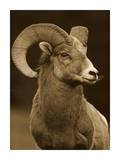 Bighorn Sheep male portrait, Banff National Park, Alberta, Canada - Sepia Prints by Tim Fitzharris