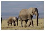 African Elephant mother and calf, Kenya Prints by Tim Fitzharris