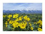 Balsamroot Sunflower patch, Grand Teton National Park, Wyoming Prints by Tim Fitzharris