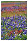 Sand Bluebonnet and Paintbrush flowers, Hill Country, Texas Print by Tim Fitzharris