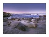 Northern Elephant Seal juveniles laying on the beach, Point Piedras Blancas, Big Sur, California Plakater af Tim Fitzharris
