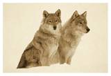 Timber Wolf portrait of pair sitting in snow, North America - Sepia Affiches par Tim Fitzharris