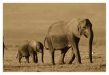 African Elephant mother and calf, Kenya - Sepia Posters by Tim Fitzharris