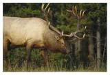 Elk grazing, North America Posters by Tim Fitzharris
