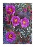 Beavertail Cactus flowering, North America Prints by Tim Fitzharris