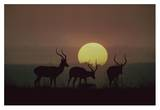 Impala bucks at sunset, Kenya Prints by Tim Fitzharris