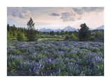 Lupine meadow, Grand Teton National Park, Wyoming Posters by Tim Fitzharris